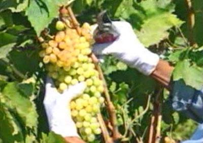 نرم افزار آموزشی کشت انگور